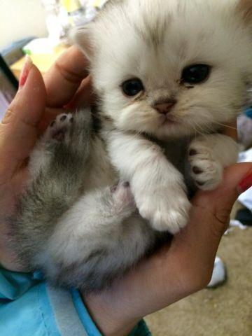 Doll Face Miniature White Persian Kittens Pure Breed