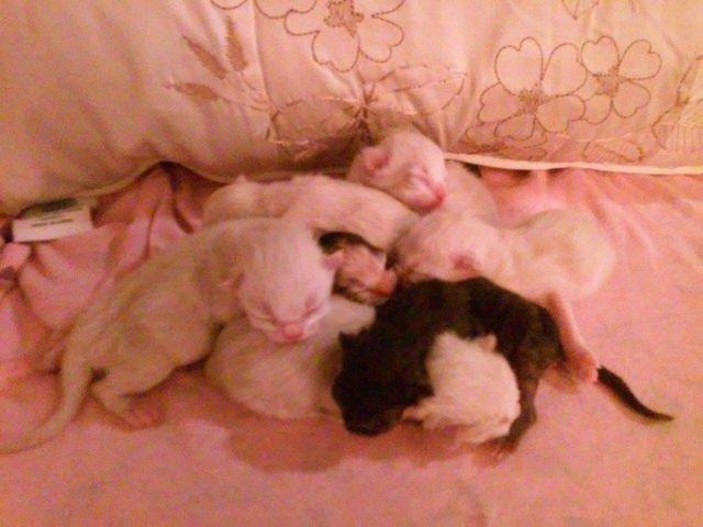 DOLL FACE PERSIAN KITTENS ABLSOLUTELY GORGEOUS BABIES