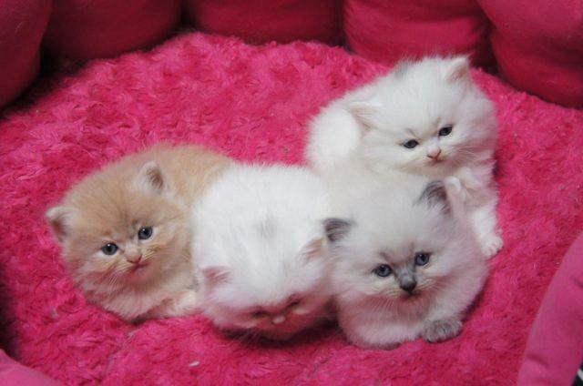 Doll Face Persian kitt...