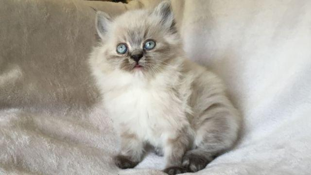 Doll Face Teacup Persian Kittens: Blue Point, Red Tabby, & Black ...