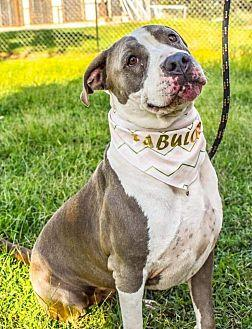Dolly American Pit Bull Terrier Female