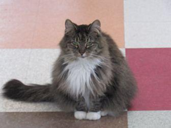 Dolly Domestic Longhair Adult Female