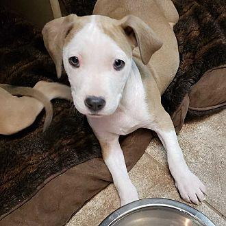 Dolly Pit Bull Terrier Puppy Female