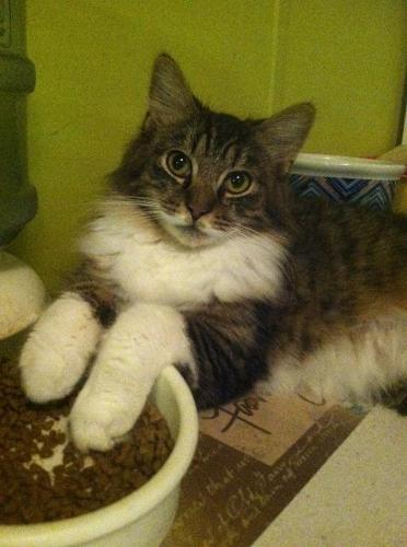 Dom Maine Coon Young - Adoption, Rescue for Sale in Ocala