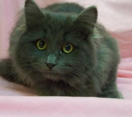 Domestic Long Hair Gray Nikkon Large Young Male Cat For Sale In Alex Minnesota