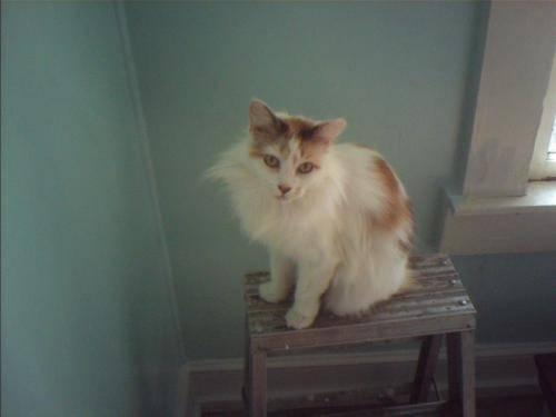 Domestic Long Hair - Orange and white - Rosemary -