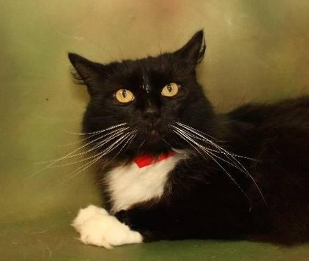 Domestic Long Hair - Pebbles - Medium - Adult - Female