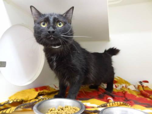 Domestic Medium Hair - Aja - Medium - Young - Female -