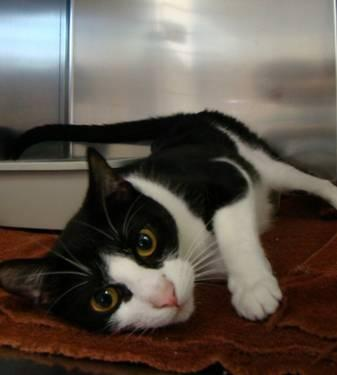 Domestic Medium Hair - Black and white - Pepper -