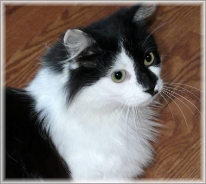 Domestic Medium Hair - Black and white - Princess