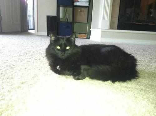 Domestic Medium Hair - Black - Danielle's Cat - Small -