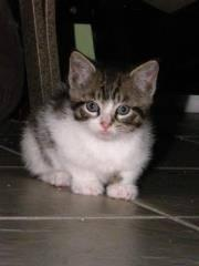 Domestic Medium Hair - Casper - Small - Baby - Male -