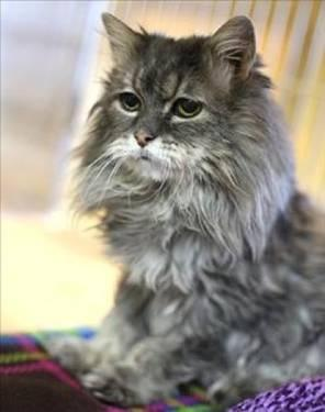 Domestic Medium Hair - Clementine - Small - Senior -