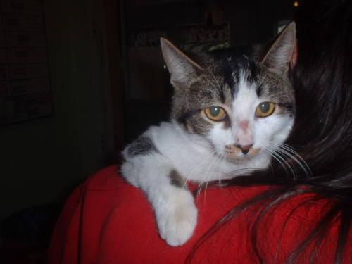 Domestic Medium Hair - Della - Medium - Young - Female