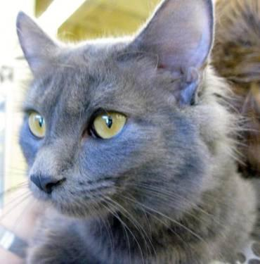Domestic Medium Hair - Gray - Willie And Carlotta -