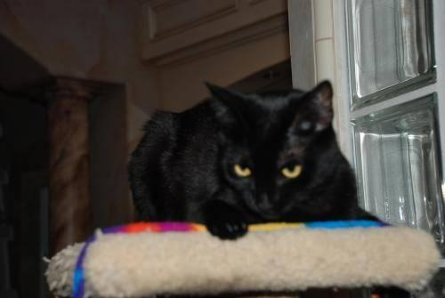 Domestic Medium Hair - Juno - Medium - Adult - Female -