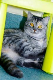 Domestic Medium Hair - Kali - Medium - Adult - Female -