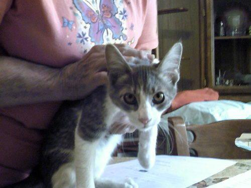 Domestic Medium Hair - Mercedes - Medium - Young -