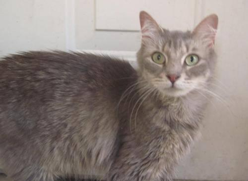 Domestic Medium Hair - Moondust - Small - Adult -