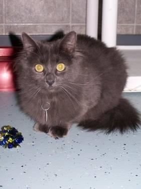 Domestic Medium Hair - Pixie - Medium - Young - Female