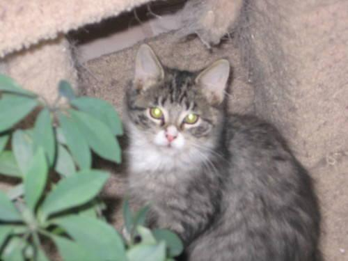 Domestic Medium Hair - Smokey - Large - Young - Male -