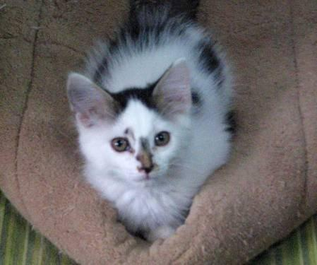 Domestic Medium Hair - Will - Medium - Baby - Male -