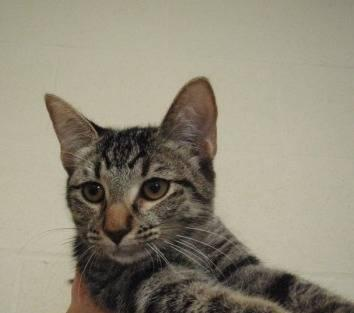 Domestic Short Hair - 173613 - Medium - Adult - Female