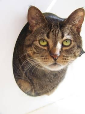 Domestic Short Hair - Abbey - Small - Adult - Female -