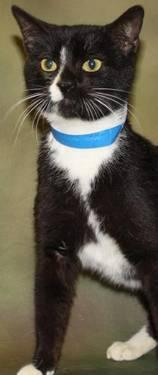 Domestic Short Hair - Abner - Small - Adult - Male -