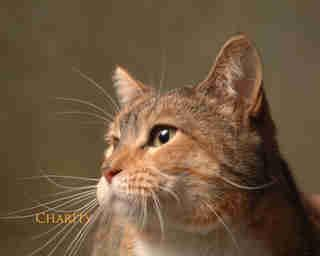 Domestic Short Hair - Ambrosia - Medium - Adult -