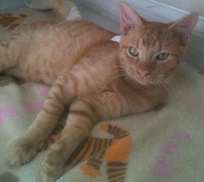 Domestic Short Hair - Archie - Medium - Young - Male -