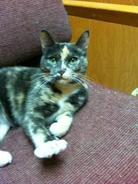 Domestic Short Hair - Autumn - Medium - Adult - Female