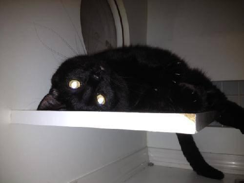 Domestic Short Hair - Bella - Medium - Young - Female -