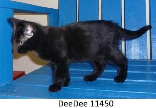 Domestic Short Hair - Black
