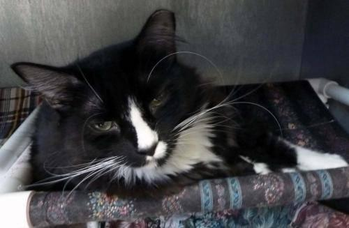 Domestic Short Hair - Black and white - Hilliard -