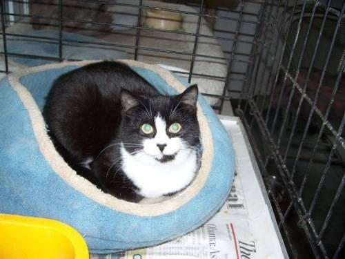 Domestic Short Hair - Black and white - J D - Large -