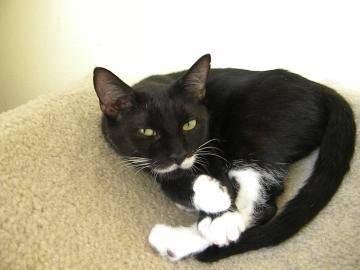 Domestic Short Hair - Black and white - Minnie - Large