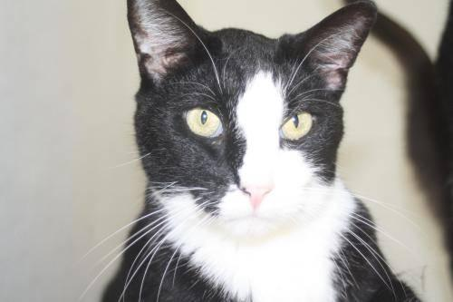 Domestic Short Hair - Black and white - Mr Washington -