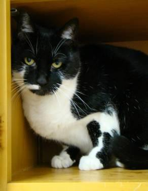 Domestic Short Hair - Black and white - Norman - Small