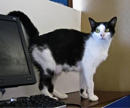 Domestic Short Hair - Black and white - Tinker - Medium
