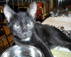 Domestic Short Hair - Black - Cody And Brody - Large -