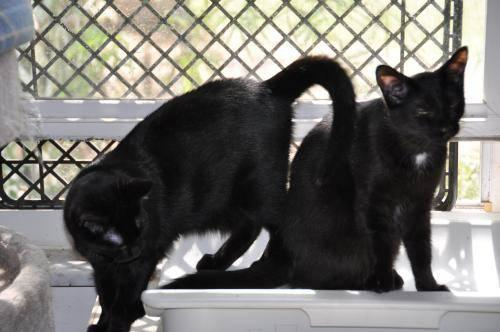 Domestic Short Hair - Black - Danielle - Medium - Young
