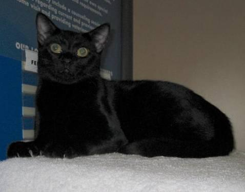 Domestic Short Hair - Black - Heather - Medium - Young