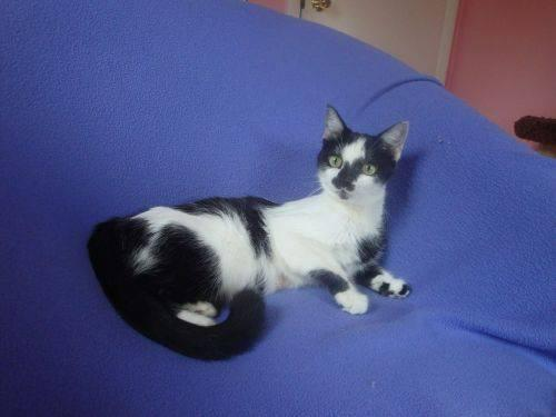 Domestic Short Hair - Black - Isabella - Medium - Adult
