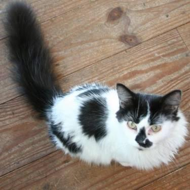 Domestic Short Hair - Black - Katsup - Small - Adult -