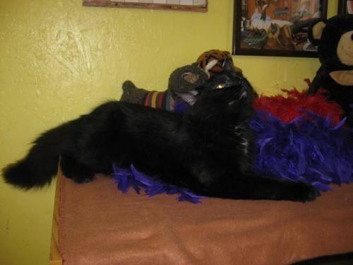 Domestic Short Hair - Black - Tom ( Cat) - Large -