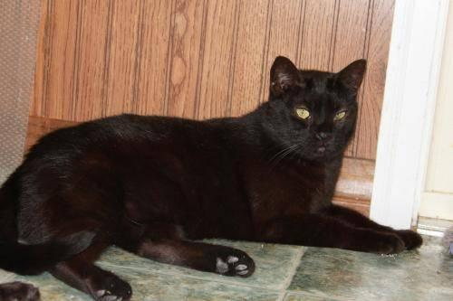 Domestic Short Hair - Black - Zulu - Medium - Adult -