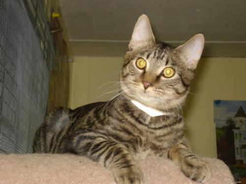 Domestic Short Hair - Bob White - Medium - Young - Male
