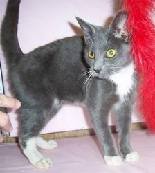 Domestic Short Hair - Bobby - Medium - Young - Male -