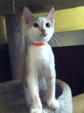Domestic Short Hair - Buff and white - Ernie - Medium -